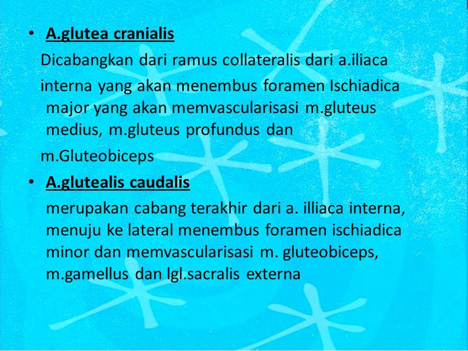 A.glutea cranialis Dicabangkan dari ramus collateralis dari a.iliaca interna yang akan menembus foramen Ischiadica major yang akan memvascularisasi m.gluteus medius, m.gluteus profundus dan m.Gluteobiceps A.glutealis caudalis merupakan cabang terakhir dari a.