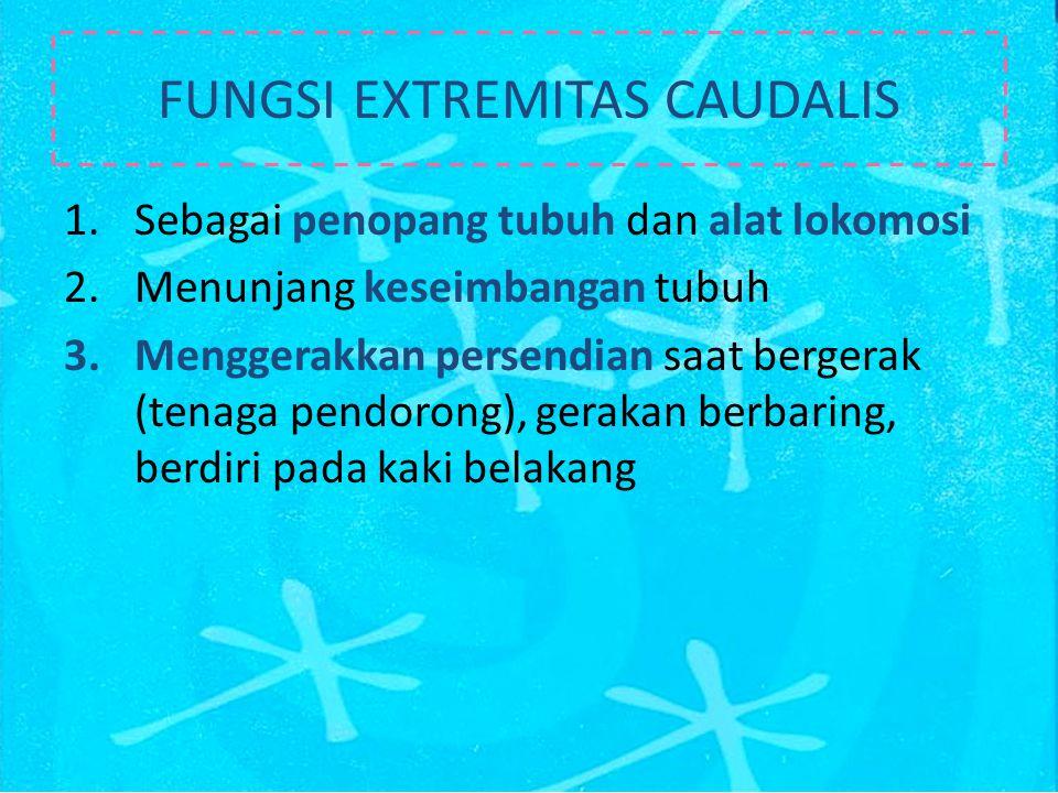 FUNGSI EXTREMITAS CAUDALIS 1.Sebagai penopang tubuh dan alat lokomosi 2.Menunjang keseimbangan tubuh 3.Menggerakkan persendian saat bergerak (tenaga pendorong), gerakan berbaring, berdiri pada kaki belakang