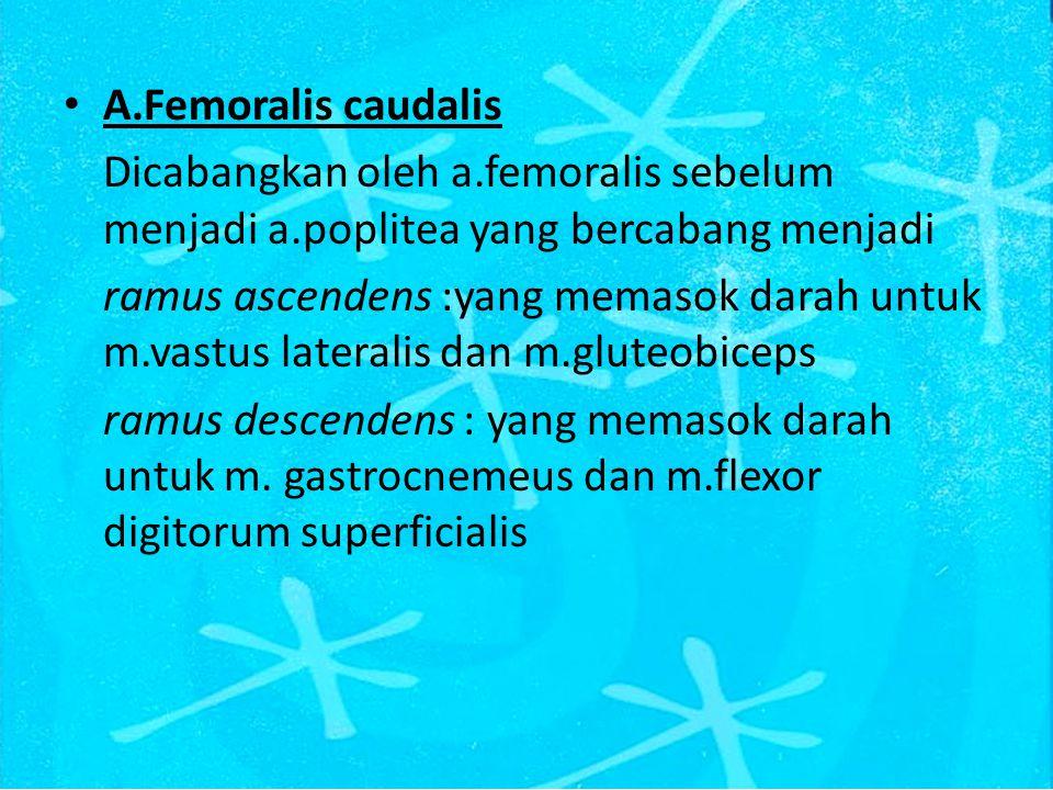 A.Femoralis caudalis Dicabangkan oleh a.femoralis sebelum menjadi a.poplitea yang bercabang menjadi ramus ascendens :yang memasok darah untuk m.vastus lateralis dan m.gluteobiceps ramus descendens : yang memasok darah untuk m.
