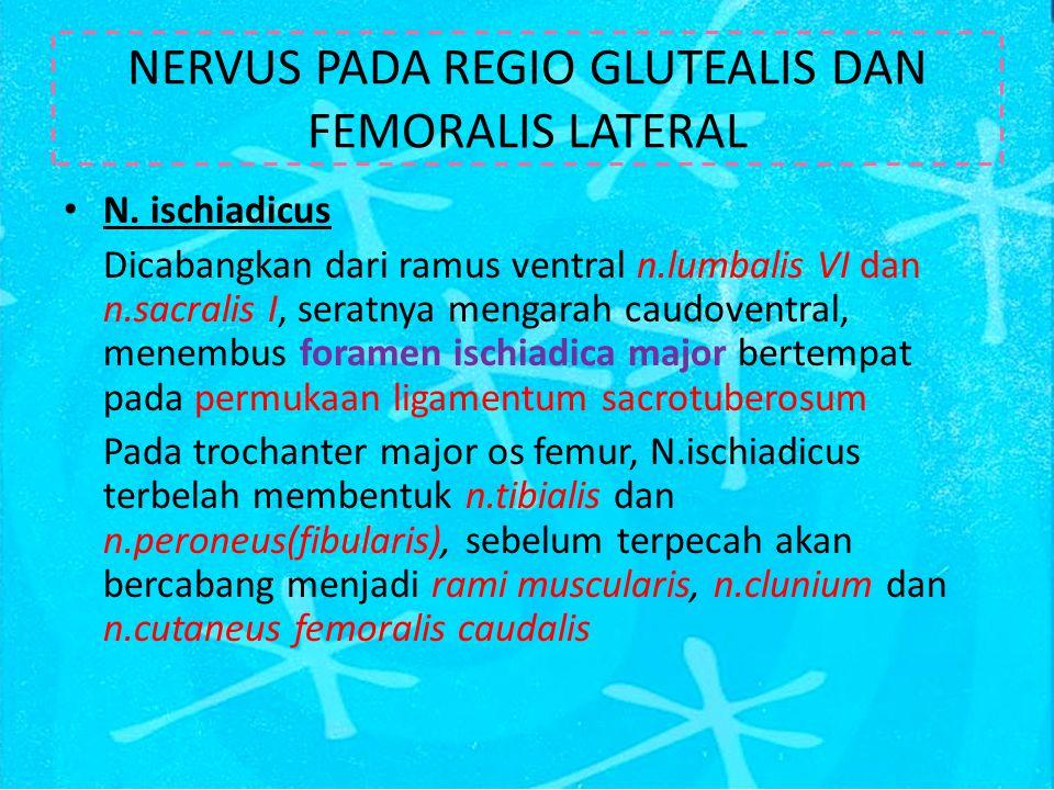 NERVUS PADA REGIO GLUTEALIS DAN FEMORALIS LATERAL N.