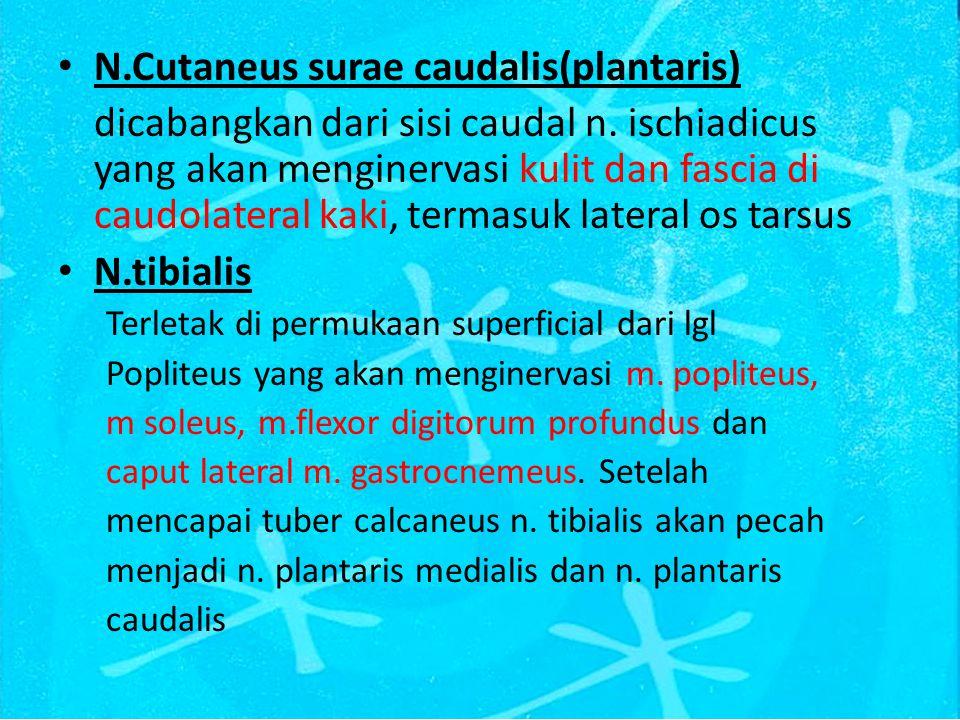 N.Cutaneus surae caudalis(plantaris) dicabangkan dari sisi caudal n.