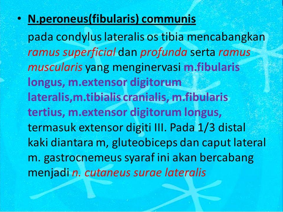 N.peroneus(fibularis) communis pada condylus lateralis os tibia mencabangkan ramus superficial dan profunda serta ramus muscularis yang menginervasi m.fibularis longus, m.extensor digitorum lateralis,m.tibialis cranialis, m.fibularis tertius, m.extensor digitorum longus, termasuk extensor digiti III.