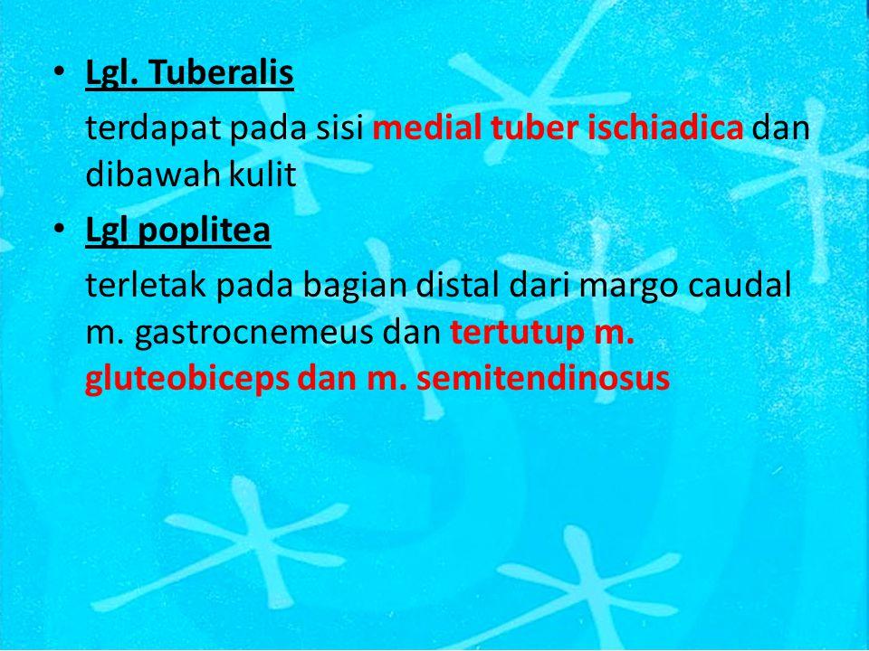 Lgl. Tuberalis terdapat pada sisi medial tuber ischiadica dan dibawah kulit Lgl poplitea terletak pada bagian distal dari margo caudal m. gastrocnemeu