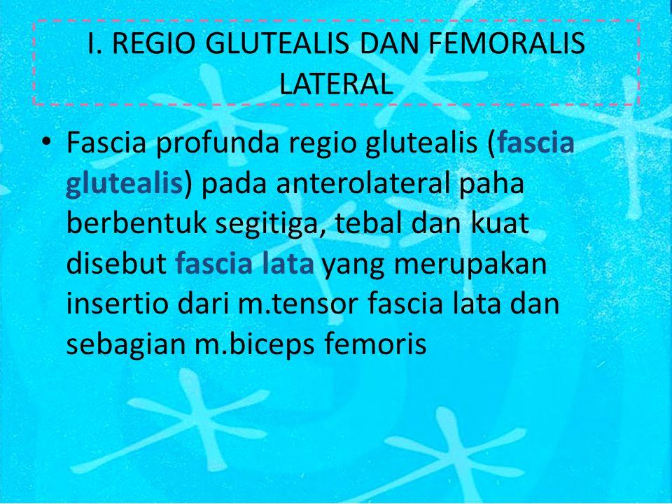 M.Gluteus profundus Mempunyai struktur yang melebar di profundal m.gluteus accessorius Origo: tuber coxae, corpus os illium, spina ischiadica, ligamentum sacrotuberosum dan ligamentum sacroiliaca Insertio: cervix os femur dan trochanter major major Vascularisasi: a.glutealis cranialis dan a.circumflexa femoralis lateralis Inervasi: n.glutealis cranialis Fungsi: abductor paha dan rotasi kaki belakang ke arah medial