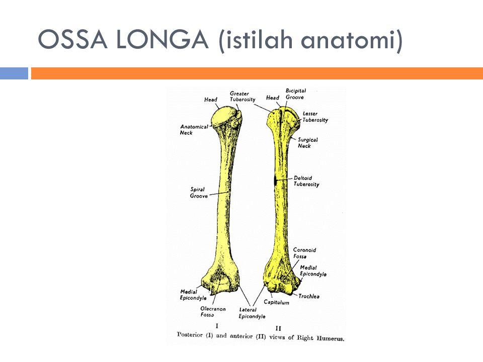 OSSA LONGA (istilah anatomi)