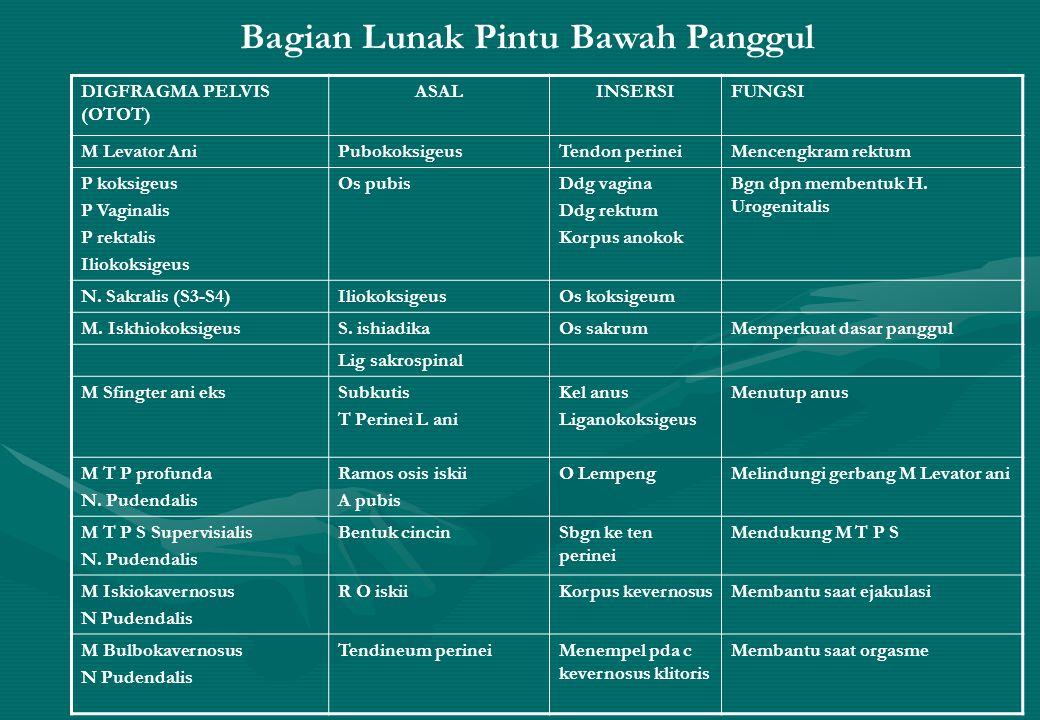 DIGFRAGMA PELVIS (OTOT) ASALINSERSIFUNGSI M Levator AniPubokoksigeusTendon perineiMencengkram rektum P koksigeus P Vaginalis P rektalis Iliokoksigeus