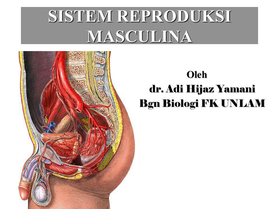 SISTEM REPRODUKSI MASCULINA Oleh Oleh dr. Adi Hijaz Yamani Bgn Biologi FK UNLAM