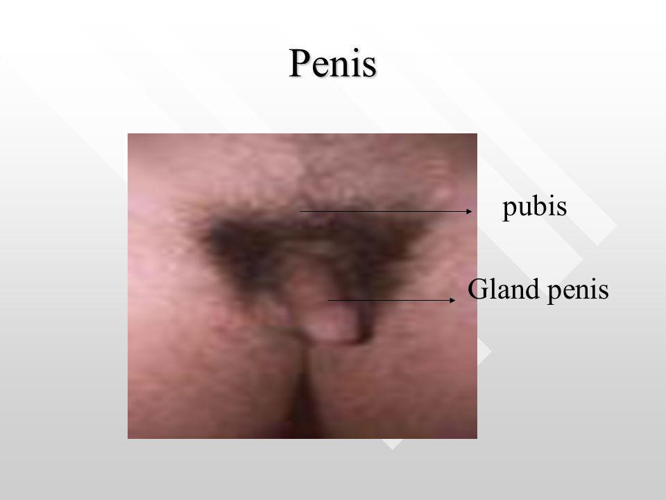 Penis Gland penis pubis