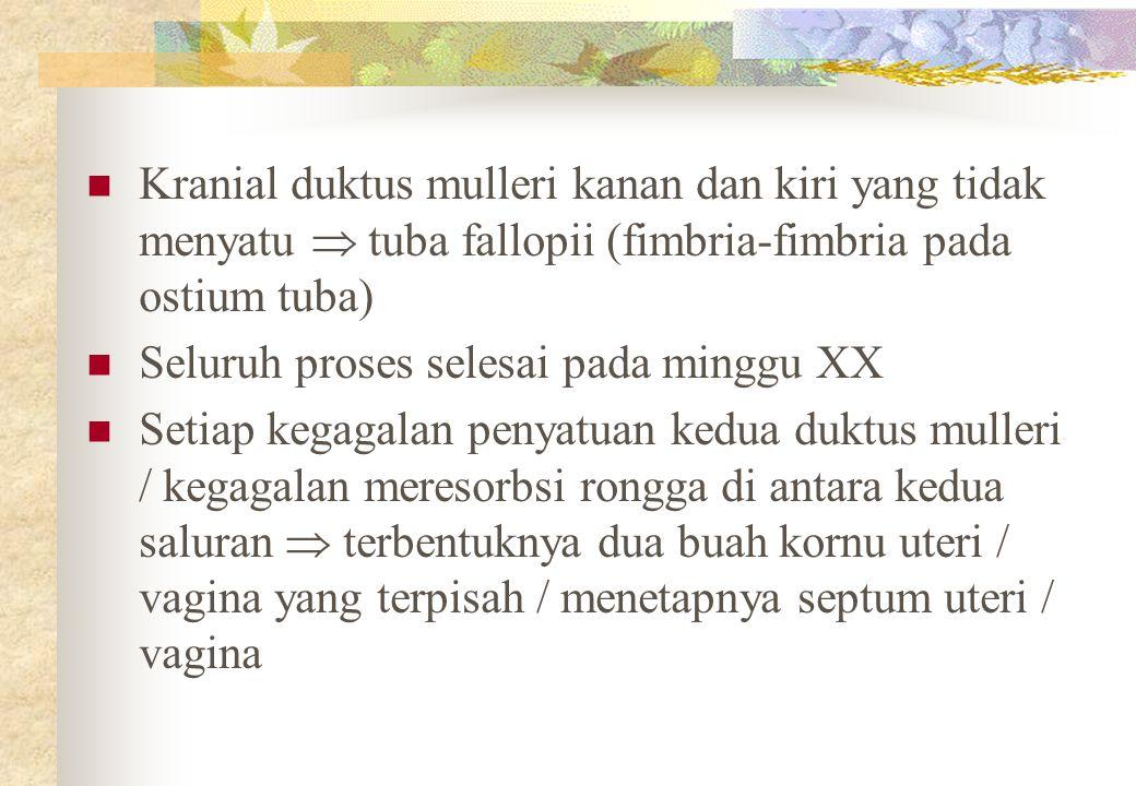 Kranial duktus mulleri kanan dan kiri yang tidak menyatu  tuba fallopii (fimbria-fimbria pada ostium tuba) Seluruh proses selesai pada minggu XX Setiap kegagalan penyatuan kedua duktus mulleri / kegagalan meresorbsi rongga di antara kedua saluran  terbentuknya dua buah kornu uteri / vagina yang terpisah / menetapnya septum uteri / vagina