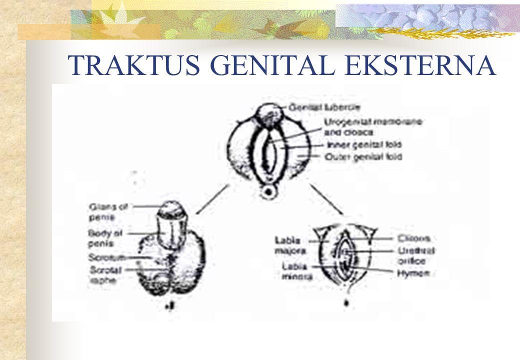 TRAKTUS GENITAL EKSTERNA