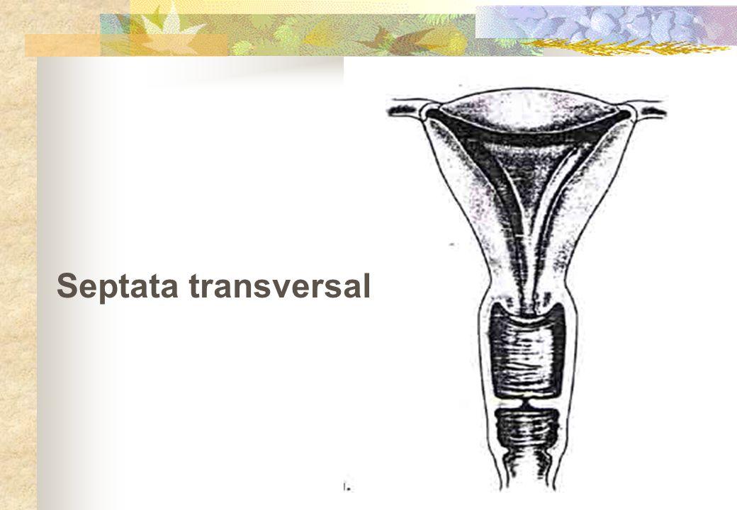 Septata transversal