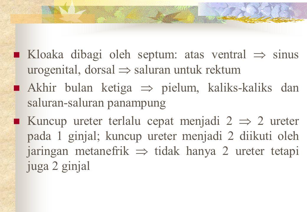 Kloaka dibagi oleh septum: atas ventral  sinus urogenital, dorsal  saluran untuk rektum Akhir bulan ketiga  pielum, kaliks-kaliks dan saluran-saluran panampung Kuncup ureter terlalu cepat menjadi 2  2 ureter pada 1 ginjal; kuncup ureter menjadi 2 diikuti oleh jaringan metanefrik  tidak hanya 2 ureter tetapi juga 2 ginjal