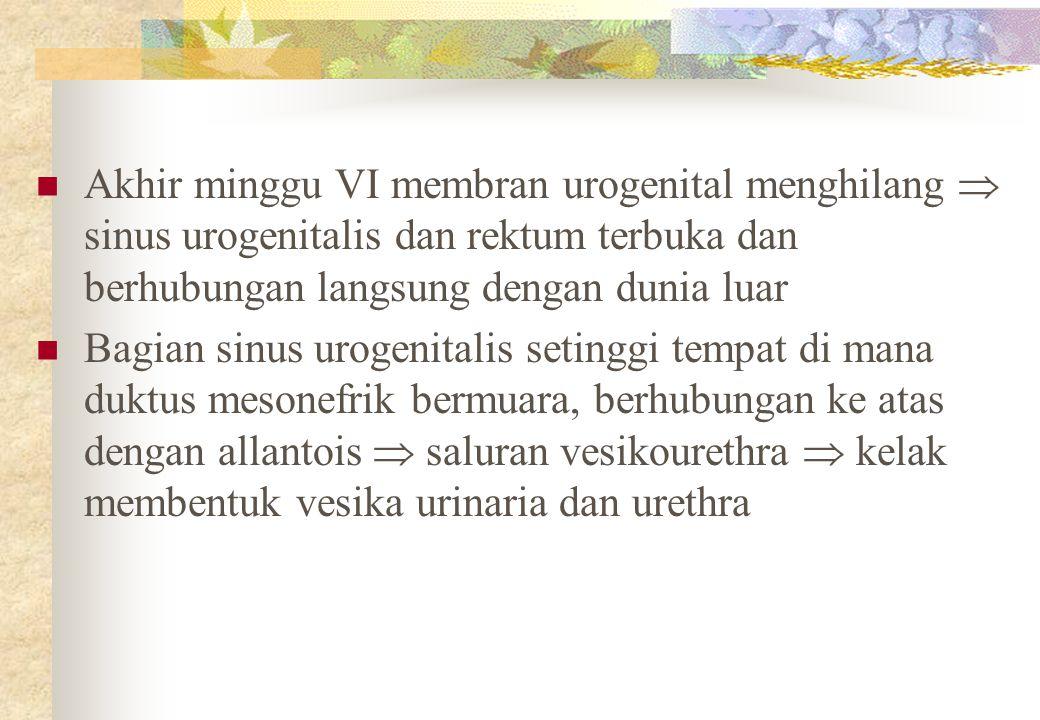 Akhir minggu VI membran urogenital menghilang  sinus urogenitalis dan rektum terbuka dan berhubungan langsung dengan dunia luar Bagian sinus urogenitalis setinggi tempat di mana duktus mesonefrik bermuara, berhubungan ke atas dengan allantois  saluran vesikourethra  kelak membentuk vesika urinaria dan urethra