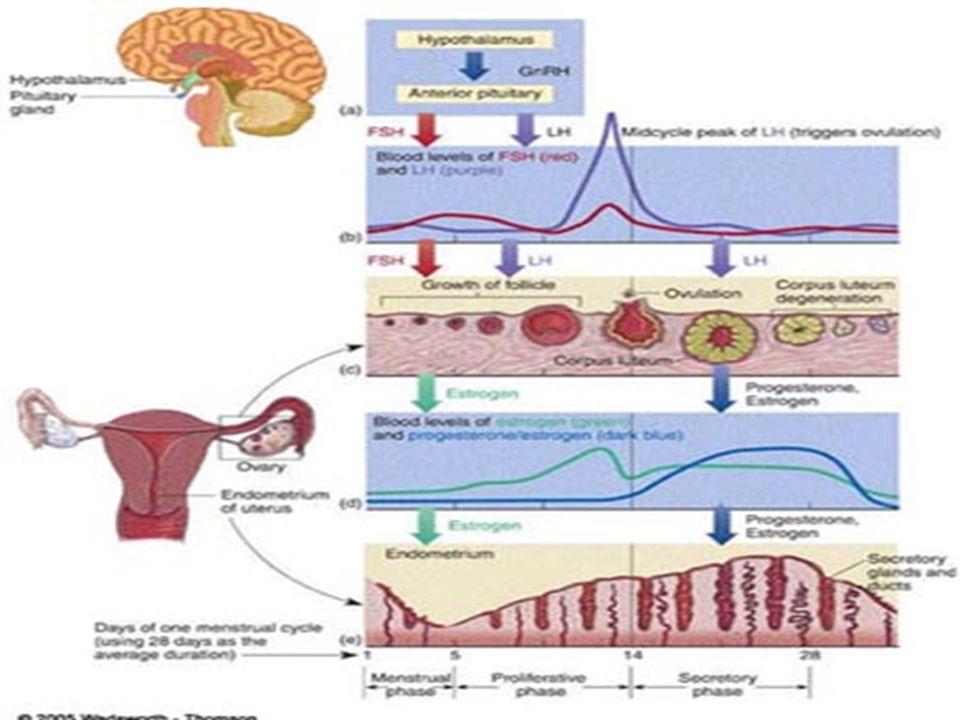  Wanita akan mengalami menopause (usia 45 sampai 55 tahun).  Produksi hormon estrogen & progesteron menurun  haid menjadi tidak teratur  terhenti.
