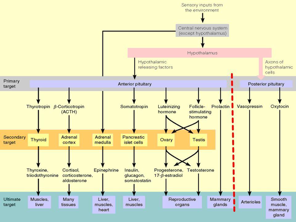 Hipotalamus:  Terdapat dalam otak  Mengatur sbgn besar sekresi endokrin  Mengeluarkan sbgn besar hormon pengaruh  Sbgn besar mengatur hipofisis