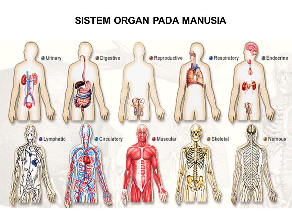 SISTEM ORGAN PADA MANUSIA