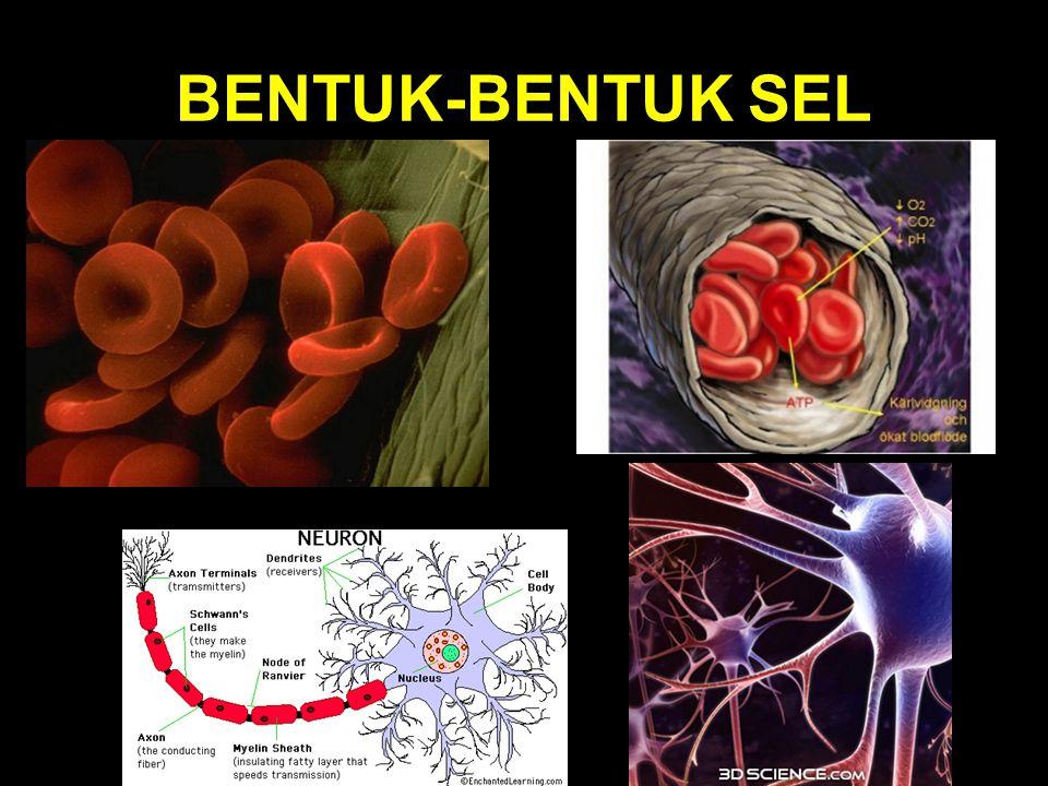 BENTUK-BENTUK SEL