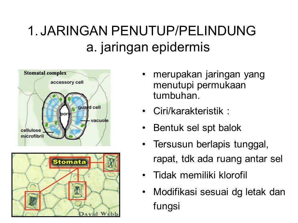 JARINGAN PERMANEN 1.JARINGAN PENUTUP/PELINDUNG a. jaringan epidermis merupakan jaringan yang menutupi permukaan tumbuhan. Ciri/karakteristik : Bentuk
