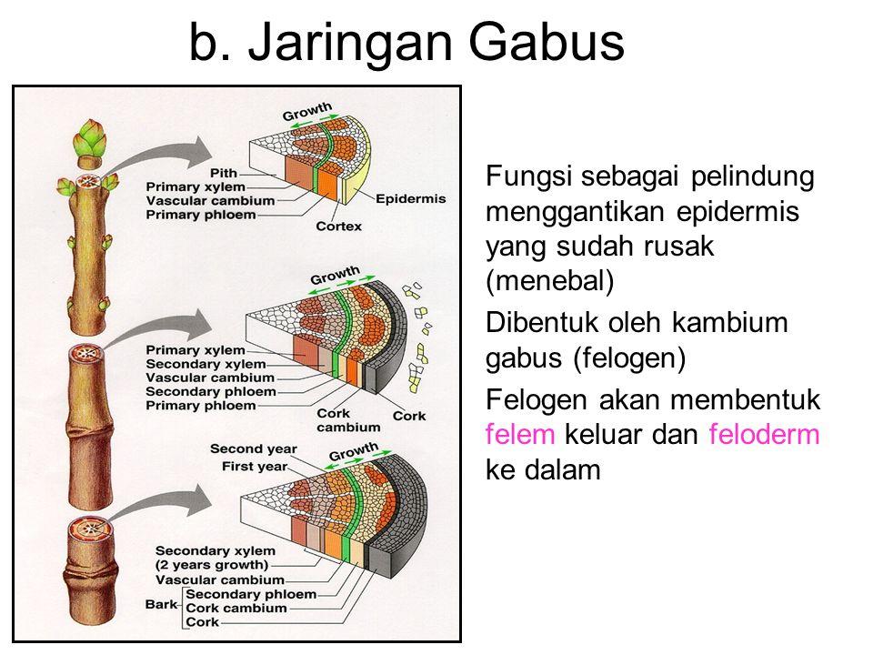 b. Jaringan Gabus Fungsi sebagai pelindung menggantikan epidermis yang sudah rusak (menebal) Dibentuk oleh kambium gabus (felogen) Felogen akan memben