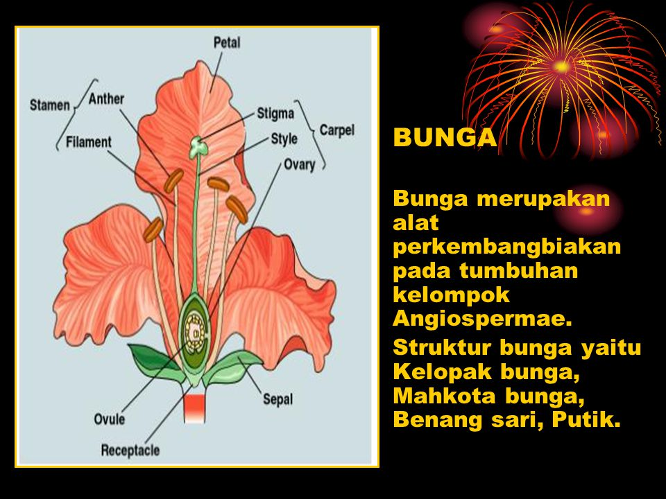 BUNGA Bunga merupakan alat perkembangbiakan pada tumbuhan kelompok Angiospermae. Struktur bunga yaitu Kelopak bunga, Mahkota bunga, Benang sari, Putik