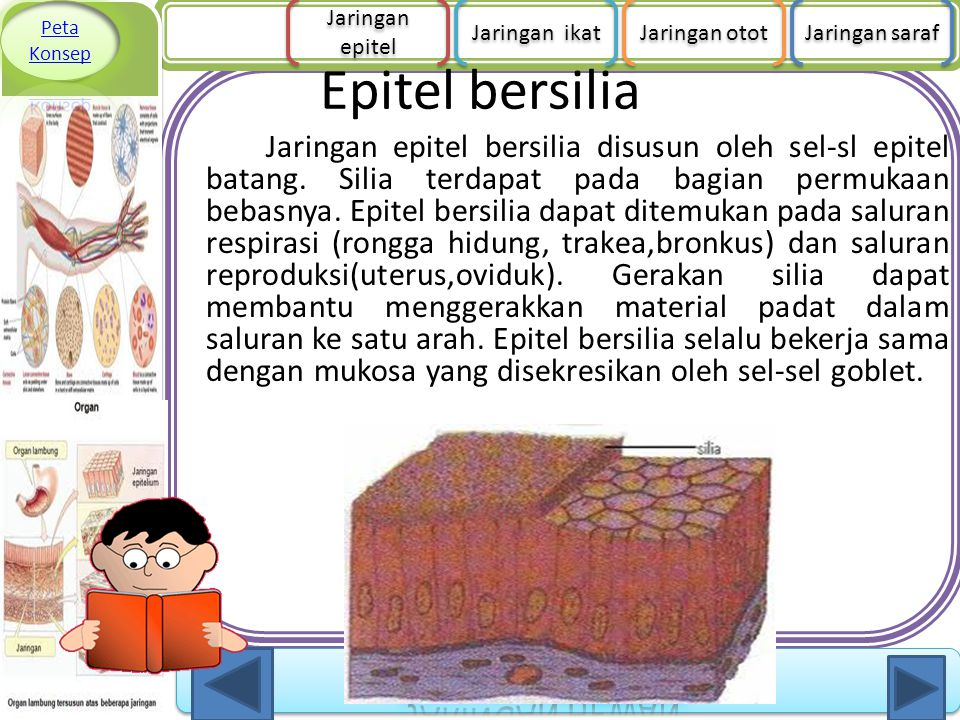 Epitel bersilia Jaringan epitel bersilia disusun oleh sel-sl epitel batang. Silia terdapat pada bagian permukaan bebasnya. Epitel bersilia dapat ditem