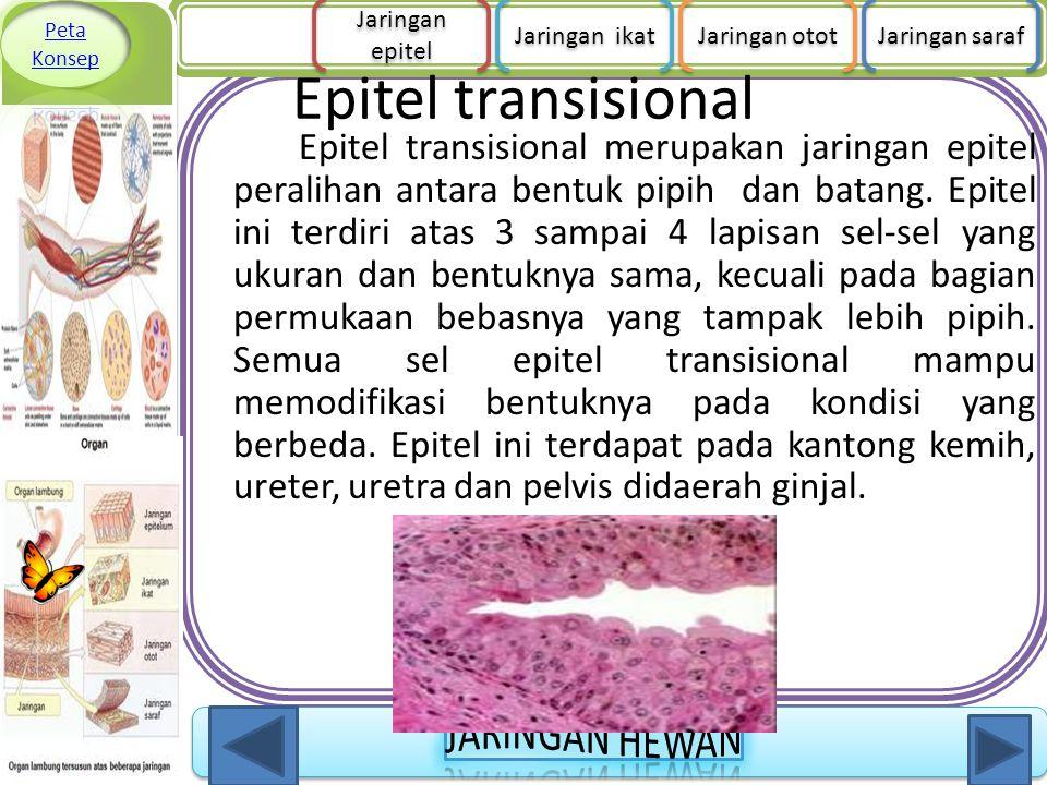 Epitel transisional Epitel transisional merupakan jaringan epitel peralihan antara bentuk pipih dan batang. Epitel ini terdiri atas 3 sampai 4 lapisan