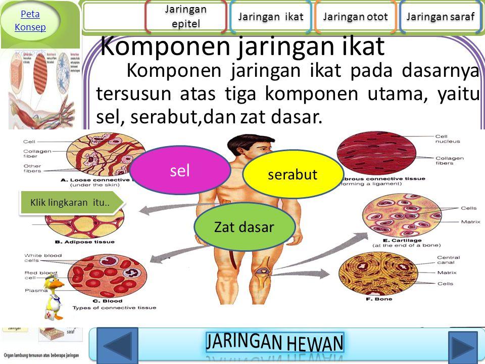 Komponen jaringan ikat Komponen jaringan ikat pada dasarnya tersusun atas tiga komponen utama, yaitu sel, serabut,dan zat dasar. sel Zat dasar serabut