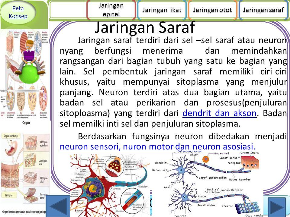 Jaringan Saraf Jaringan saraf terdiri dari sel –sel saraf atau neuron nyang berfungsi menerima dan memindahkan rangsangan dari bagian tubuh yang satu