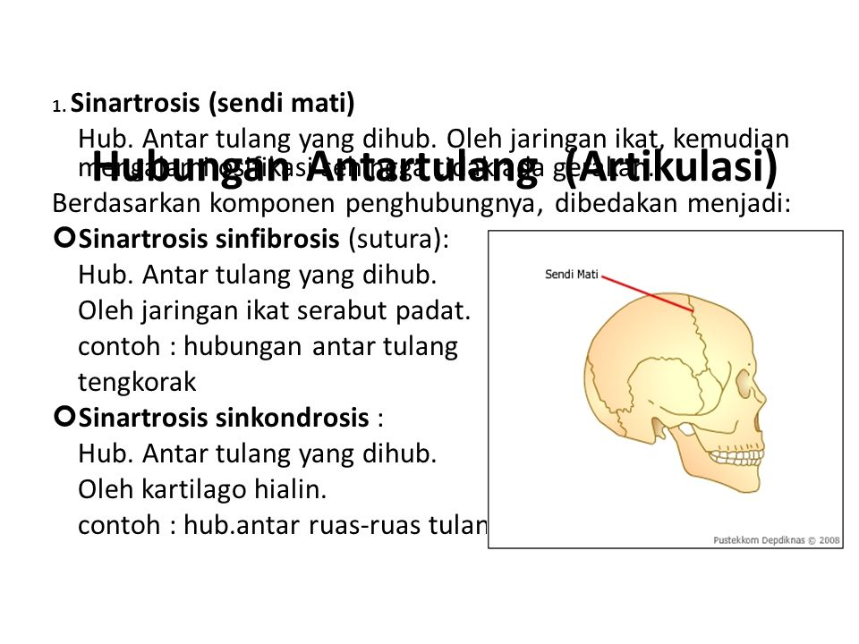 Hubungan Antartulang (Artikulasi) 1.Sinartrosis (sendi mati) Hub.