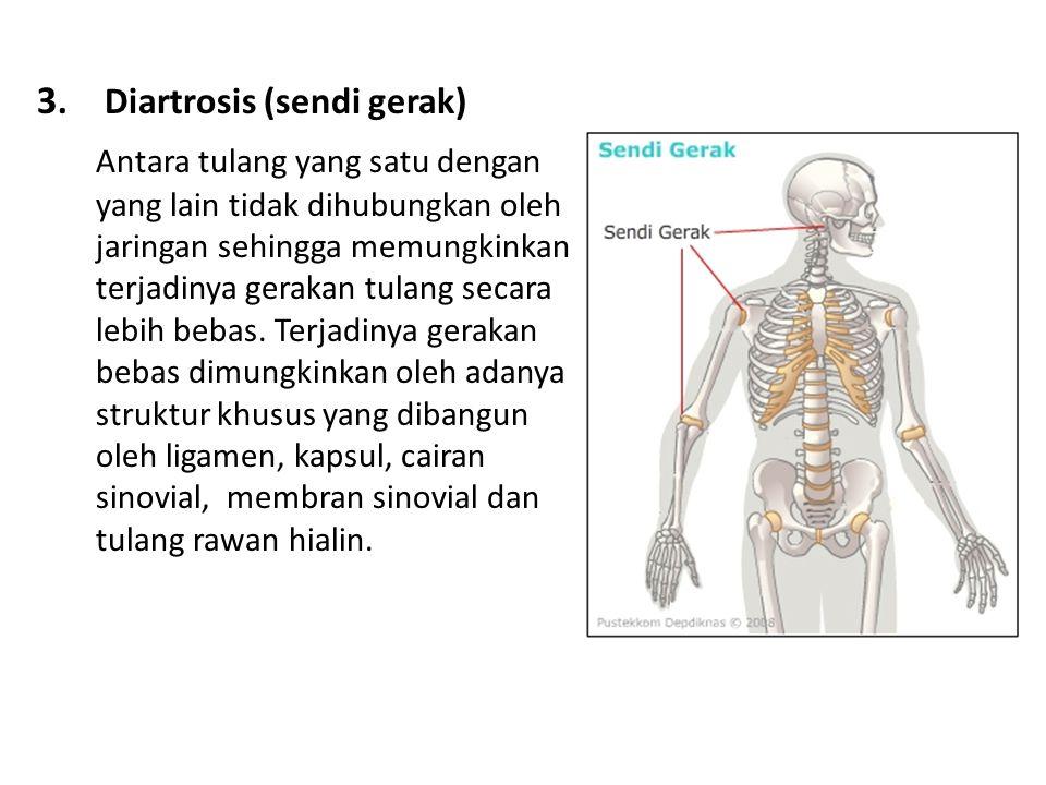3. Diartrosis (sendi gerak) Antara tulang yang satu dengan yang lain tidak dihubungkan oleh jaringan sehingga memungkinkan terjadinya gerakan tulang s