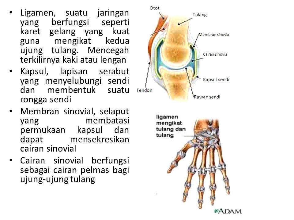 Ligamen, suatu jaringan yang berfungsi seperti karet gelang yang kuat guna mengikat kedua ujung tulang.