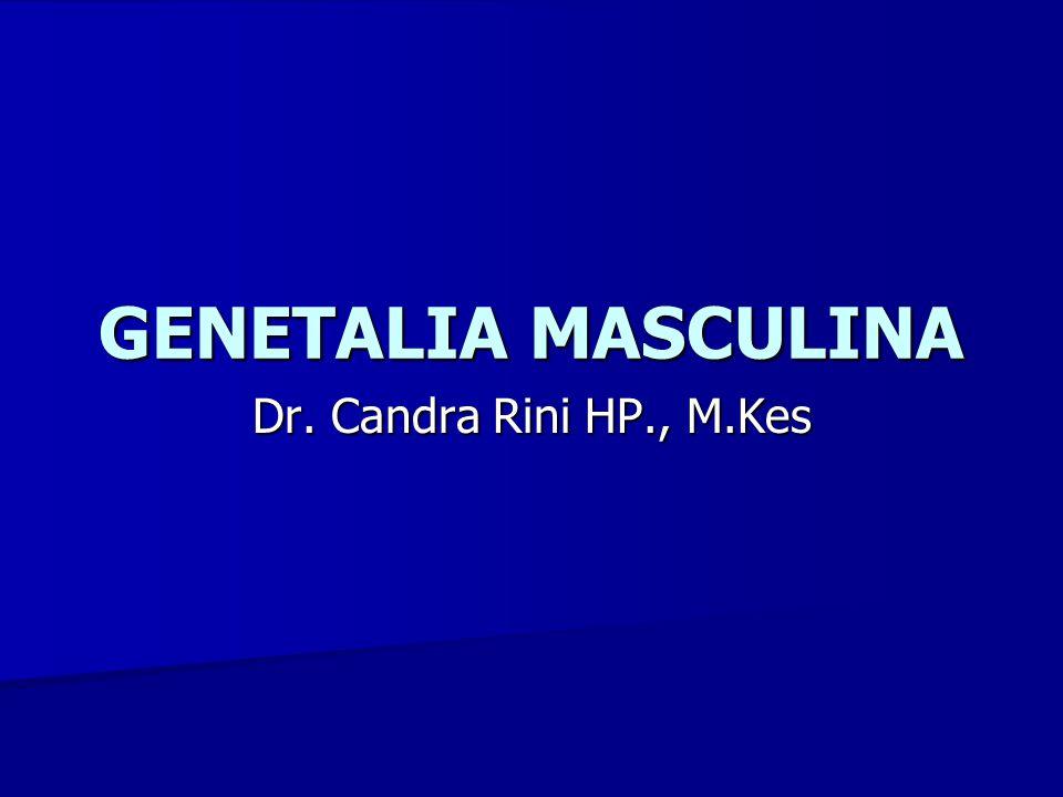 Organ genetalia masculina, tdd : Organ genetalia masculina, tdd :  Organ genetalia externa -Penis -Scrotum  Organ genetalia interna -Testis -Epididymis -Ductus defferens (Vas defferens) -Vesicula seminalis -Ductus ejaculatorius -Glandula prostat -Glandula bulbourethralis Pembahasan
