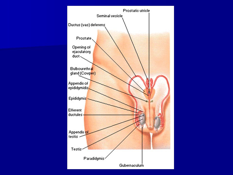 Bagian2 prostat : Bagian2 prostat :  Apex -Paling caudal -dorsal dr symphysis pubis -Berhadapan dg diaphragma urogenitale  Basis -Letak di superior -Bagian proximal -Setinggi pertengahan symphysis pubis -Terdapat orificium urethrae internum  Facies inferolateral -Convex -Terpisah dari fascia pelvis sup.