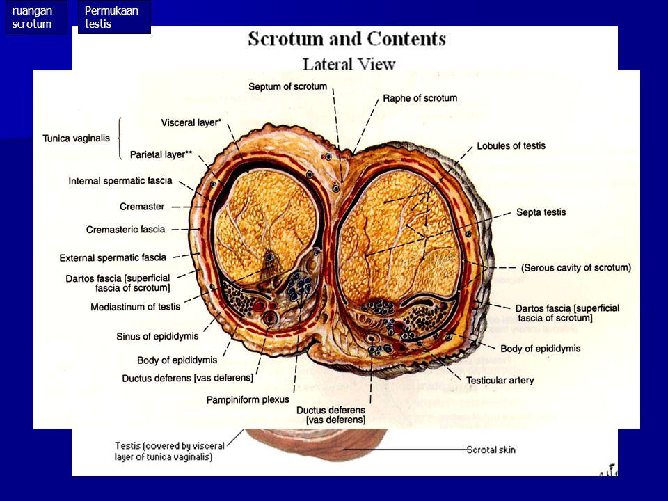 Kulit sangat tipis, berlipat2 Kulit sangat tipis, berlipat2 Pigmen lebih banyak drpd kulit sekitarnya Pigmen lebih banyak drpd kulit sekitarnya Sedikit rambut Sedikit rambut Kelenjar sebasea & keringat lebih banyak Kelenjar sebasea & keringat lebih banyak Raphe scroti terletak di median : Raphe scroti terletak di median :  ventral  raphe penis  dorsal  raphe perinei Cutis Cutis scrotum