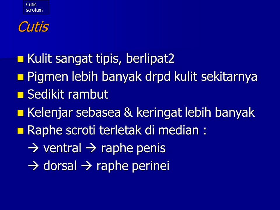 Ductus ejaculatorius Panjang (masing2) : < 1 inci (2,54cm) Panjang (masing2) : < 1 inci (2,54cm) Dibentuk o/ persatuan dr ductus defferens dg ductus vesicula seminalis Dibentuk o/ persatuan dr ductus defferens dg ductus vesicula seminalis Menembus facies posterior gld.prostata  bermuara di urethra pars prostatica (dekat pinggir utriculus prostaticus) Menembus facies posterior gld.prostata  bermuara di urethra pars prostatica (dekat pinggir utriculus prostaticus) Fungsi : mengalirkan cairan semen ke urethra Fungsi : mengalirkan cairan semen ke urethra