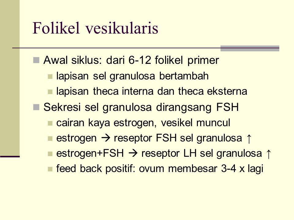 Folikel vesikularis Awal siklus: dari 6-12 folikel primer lapisan sel granulosa bertambah lapisan theca interna dan theca eksterna Sekresi sel granulo