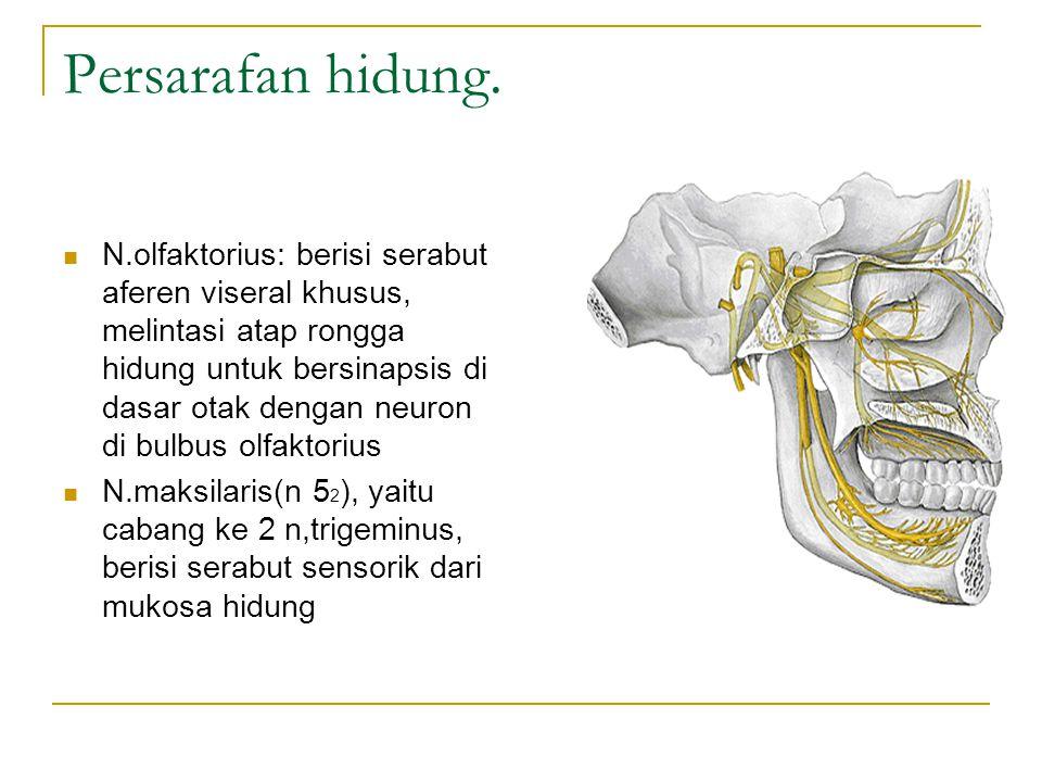 Persarafan hidung. N.olfaktorius: berisi serabut aferen viseral khusus, melintasi atap rongga hidung untuk bersinapsis di dasar otak dengan neuron di
