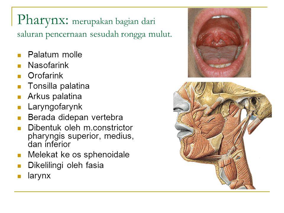 Pharynx: merupakan bagian dari saluran pencernaan sesudah rongga mulut. Palatum molle Nasofarink Orofarink Tonsilla palatina Arkus palatina Laryngofar