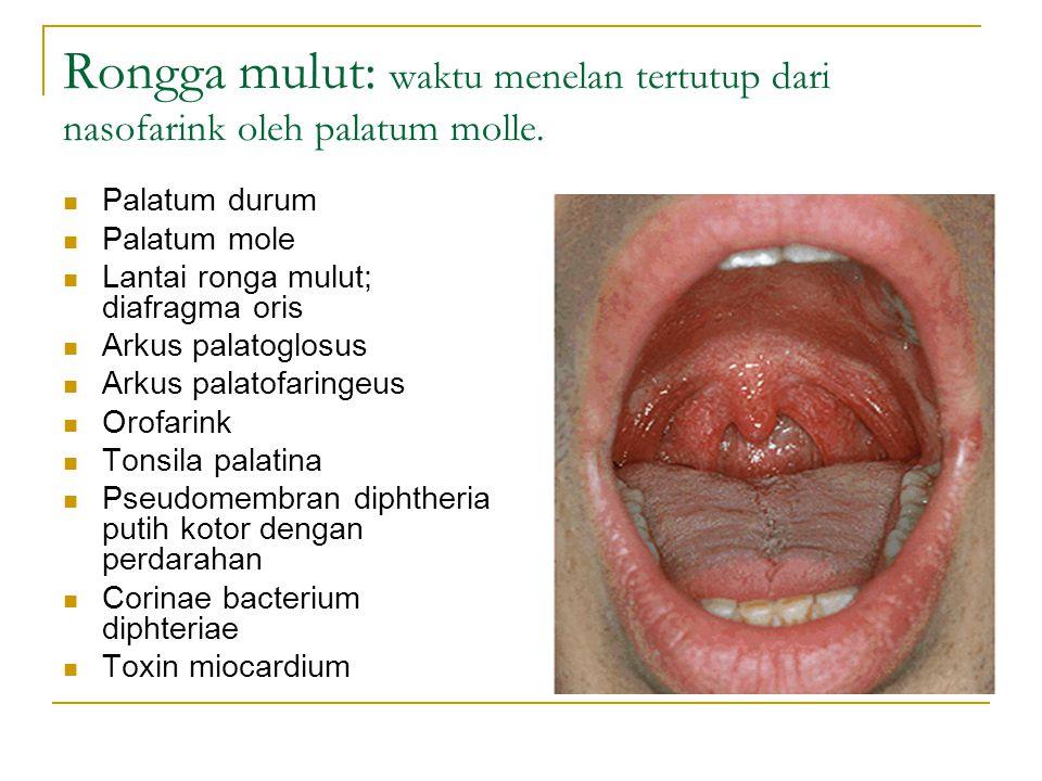 Rongga mulut: waktu menelan tertutup dari nasofarink oleh palatum molle. Palatum durum Palatum mole Lantai ronga mulut; diafragma oris Arkus palatoglo