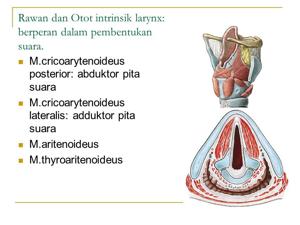 Rawan dan Otot intrinsik larynx: berperan dalam pembentukan suara. M.cricoarytenoideus posterior: abduktor pita suara M.cricoarytenoideus lateralis: a