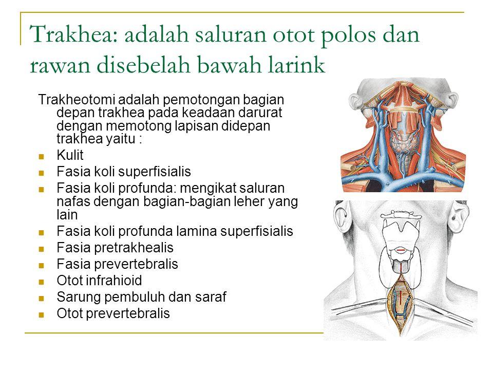 Trakhea: adalah saluran otot polos dan rawan disebelah bawah larink Trakheotomi adalah pemotongan bagian depan trakhea pada keadaan darurat dengan mem