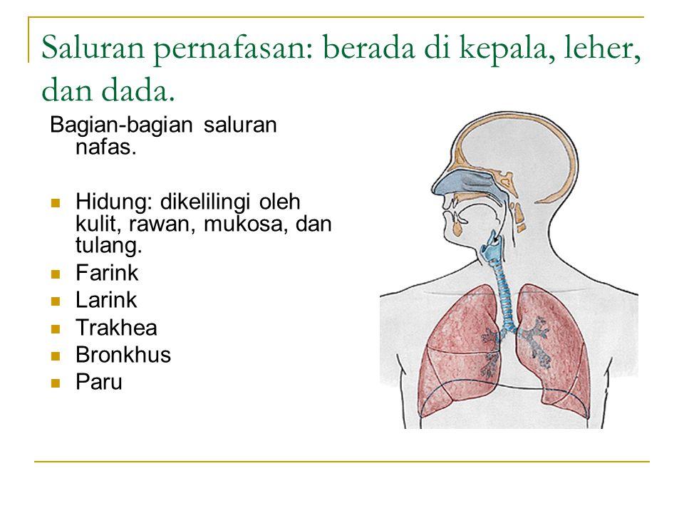Saluran pernafasan: berada di kepala, leher, dan dada. Bagian-bagian saluran nafas. Hidung: dikelilingi oleh kulit, rawan, mukosa, dan tulang. Farink