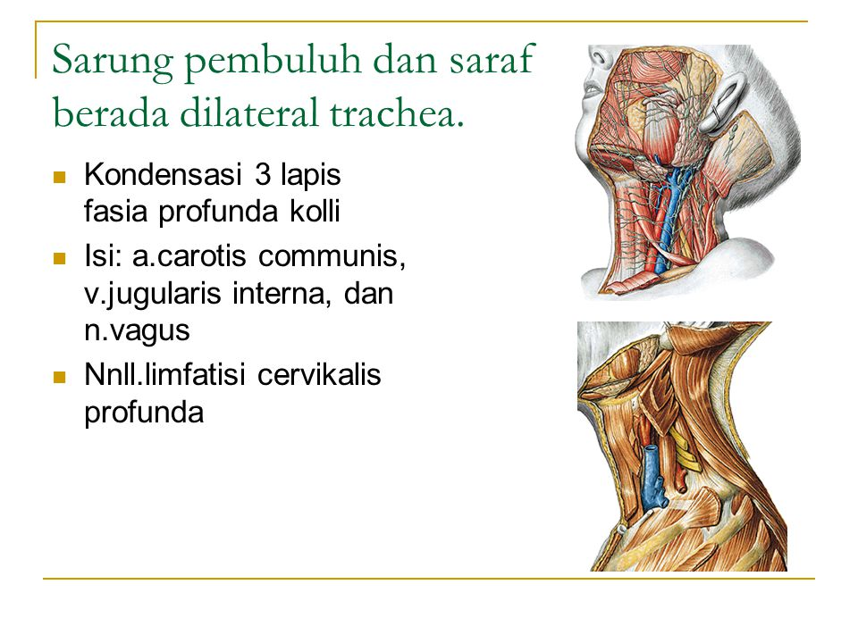 Sarung pembuluh dan saraf berada dilateral trachea. Kondensasi 3 lapis fasia profunda kolli Isi: a.carotis communis, v.jugularis interna, dan n.vagus