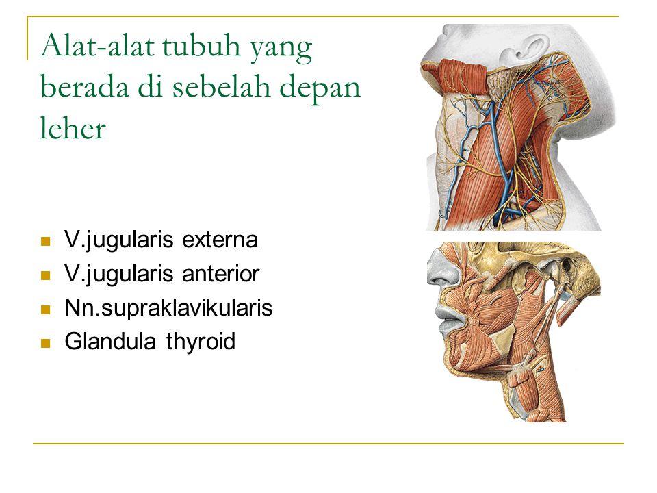 Alat-alat tubuh yang berada di sebelah depan leher V.jugularis externa V.jugularis anterior Nn.supraklavikularis Glandula thyroid