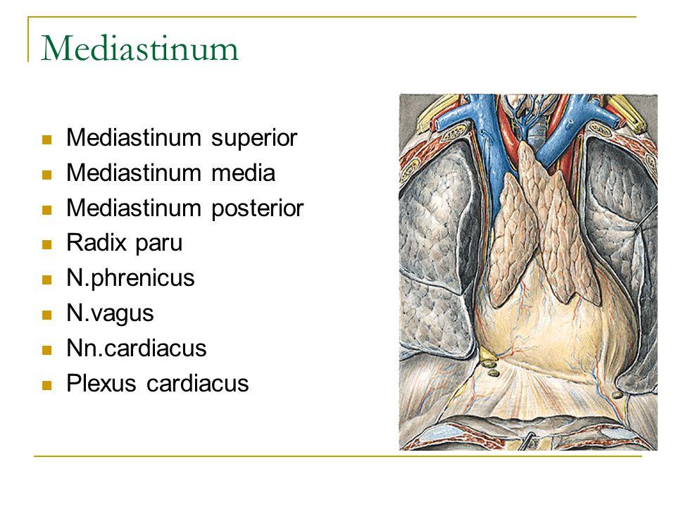 Mediastinum Mediastinum superior Mediastinum media Mediastinum posterior Radix paru N.phrenicus N.vagus Nn.cardiacus Plexus cardiacus