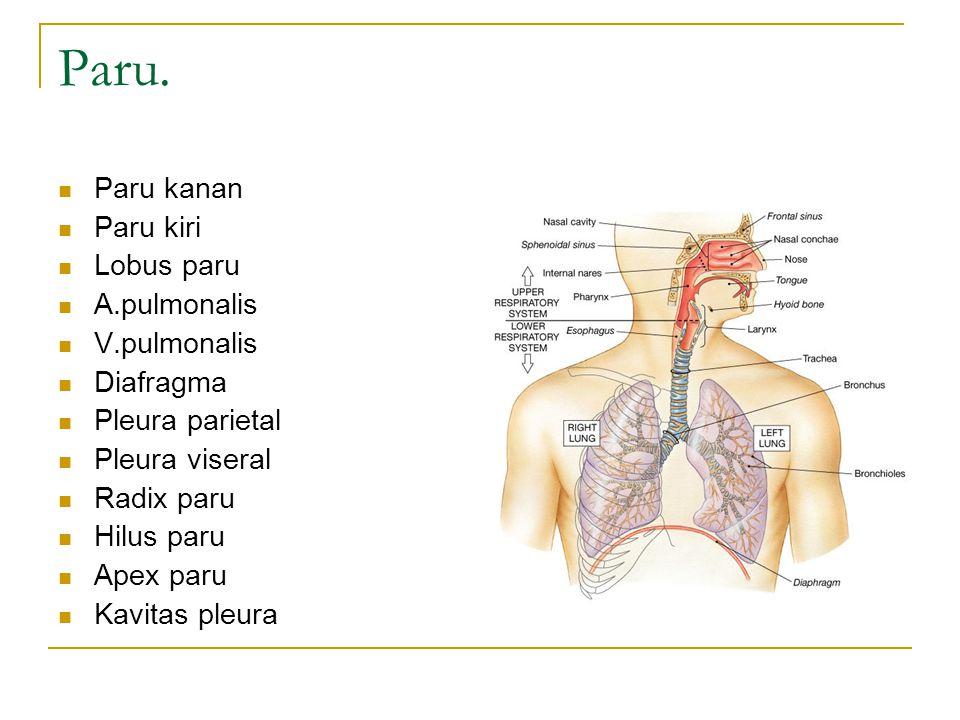 Paru. Paru kanan Paru kiri Lobus paru A.pulmonalis V.pulmonalis Diafragma Pleura parietal Pleura viseral Radix paru Hilus paru Apex paru Kavitas pleur