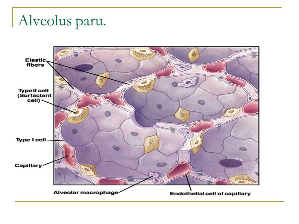 Alveolus paru.