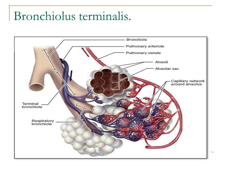 Bronchiolus terminalis.