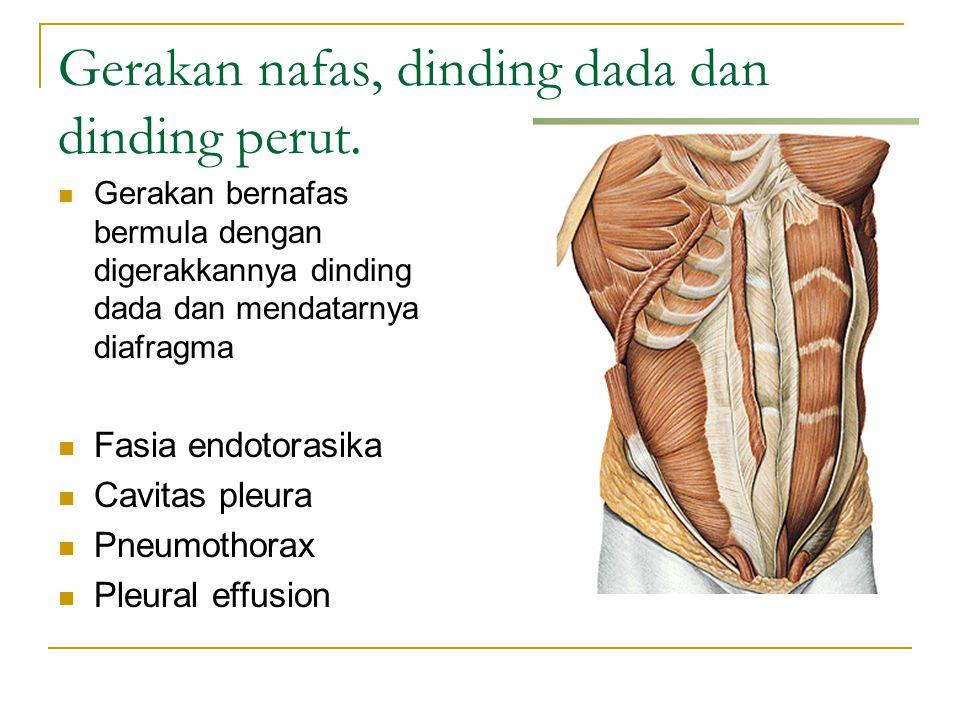 Gerakan nafas, dinding dada dan dinding perut. Gerakan bernafas bermula dengan digerakkannya dinding dada dan mendatarnya diafragma Fasia endotorasika