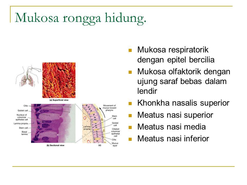 Mukosa rongga hidung. Mukosa respiratorik dengan epitel bercilia Mukosa olfaktorik dengan ujung saraf bebas dalam lendir Khonkha nasalis superior Meat